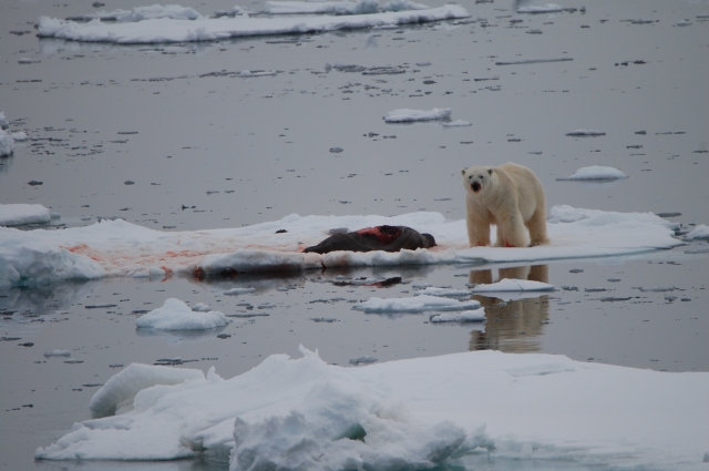 We watched this polar bear eat the blubber from this seal!