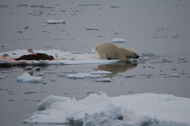 Polar bear dives into the Arctic Ocean after devouring only the seal's blubber.  The rest is left to the birds and other scavengers.