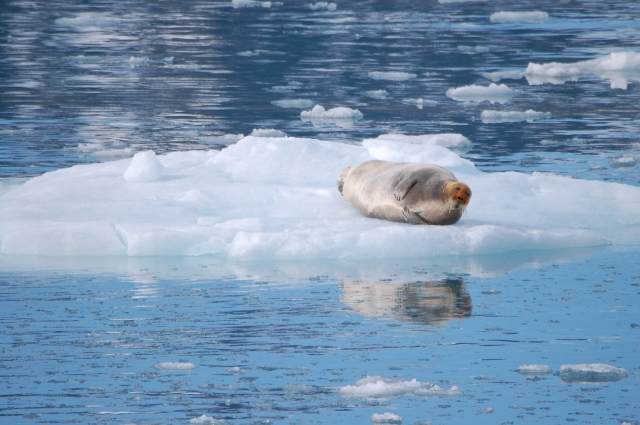 Zoomed in view of bearded seal from bow of ship