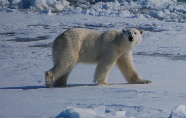 The magnificent polar bear - Ursus Maritimus