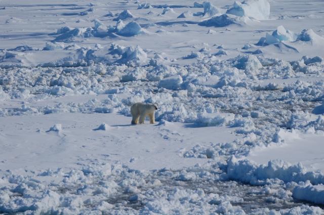 Polar bear seeking food in the vast arctic
