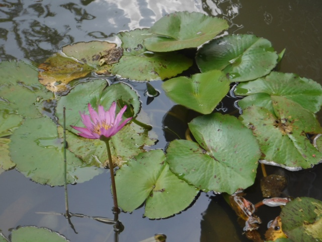 Water lotus with petals opened during day light
