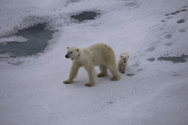 Polar bear cub follows its mom closely to learn how to hunt.  Photo credits to Dan Amatuzzo and George Chandler