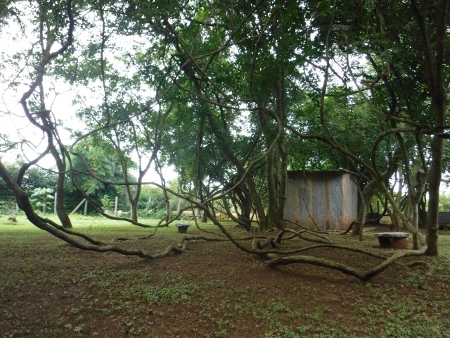 A banyan tree sends its branches to the ground and roots additional trunks on Shrimath Yoga's forest grounds