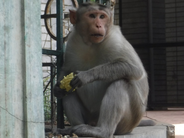 This wild monkey was just fed corn on the cob, perhaps by someone who thought it to be an offering to Hanuman.  Others think of wild monkeys as a nuisance.