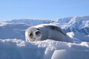 fur seal eyes