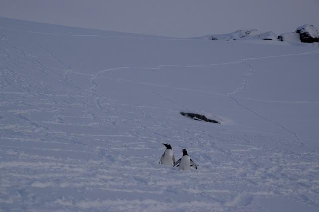 penguin sled tracks
