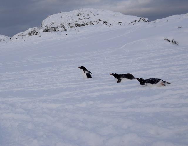 penguins tobaggon behavior